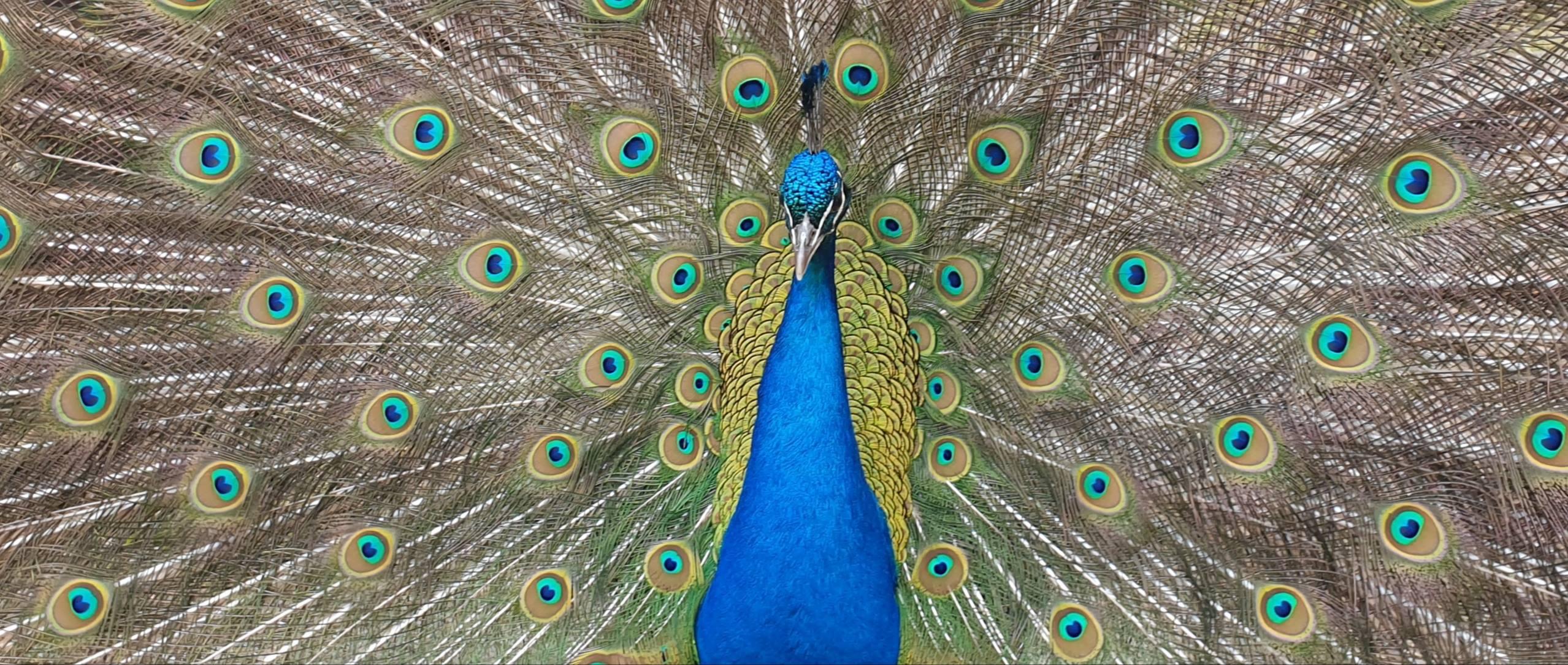 fiona full peacock