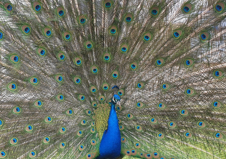 peacock 20190412_141750